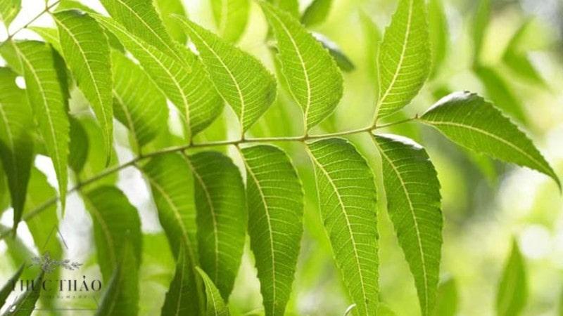 Lá neem có nguồn gốc từ Ấn Độ, có vị đắng đặc trưng