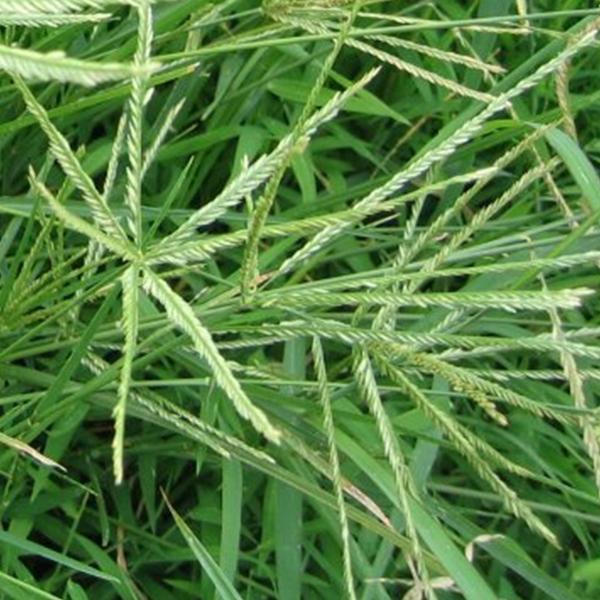 bột cỏ mần trầu gội đầu
