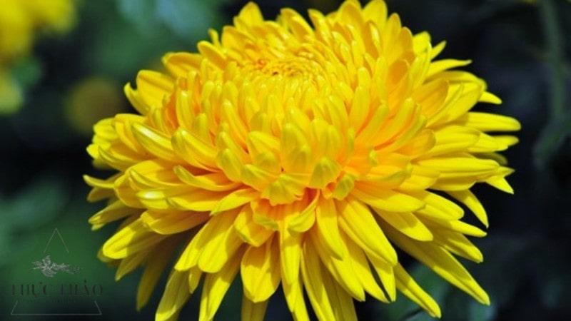 Hoa cúc vàng mang vừa cho đời hương sắc vừa có tác dụng tốt cho sức khỏe